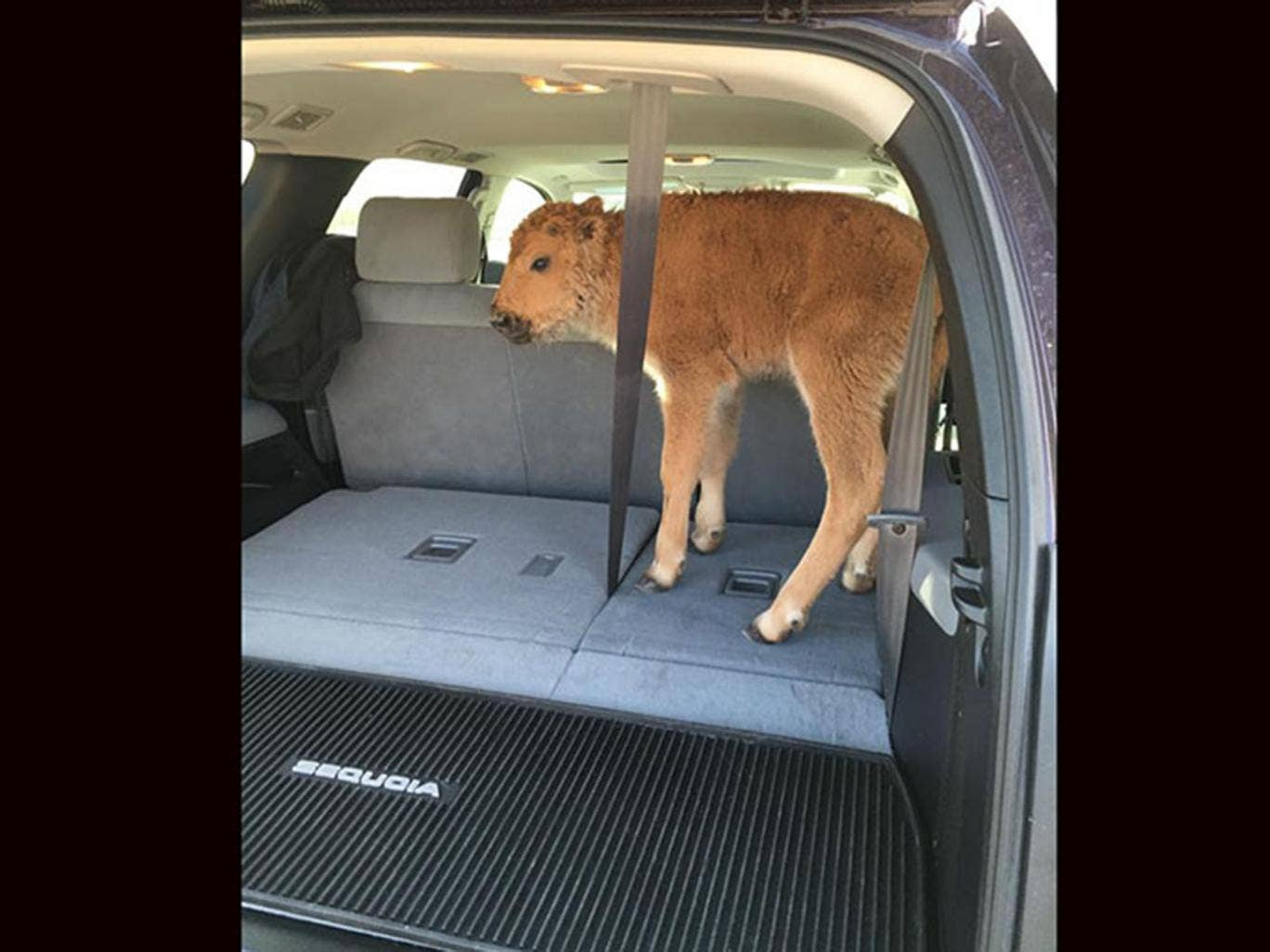 Yellowstone baby bison euthanised after visitors put it in their SUV Yellowstone-bison
