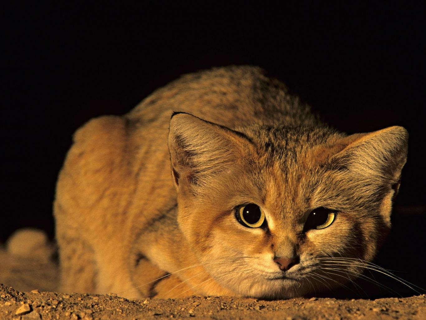 Rare Arabian Sand Cat Spotted