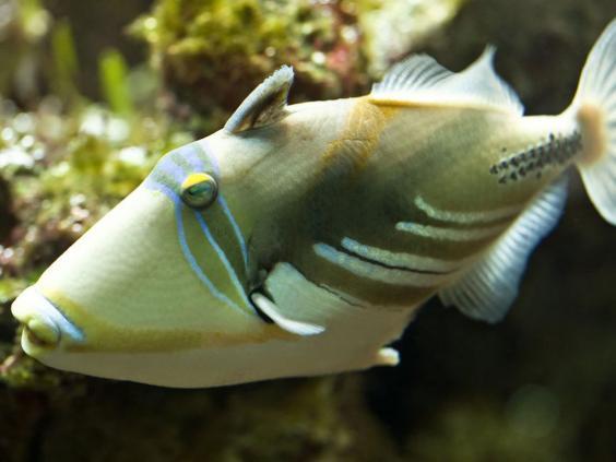 15-triggerfish.jpg