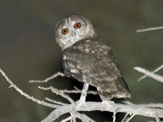 new-species-omani-owl.jpg