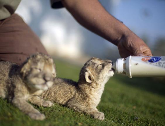 lions-getty-2.jpg
