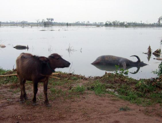 A-water-buffalo-walks-past-.jpg