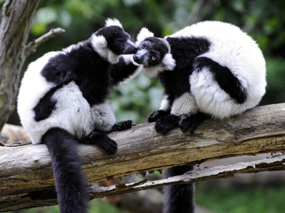 lemurs2.jpg