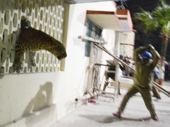 leopard-inda-3.jpg