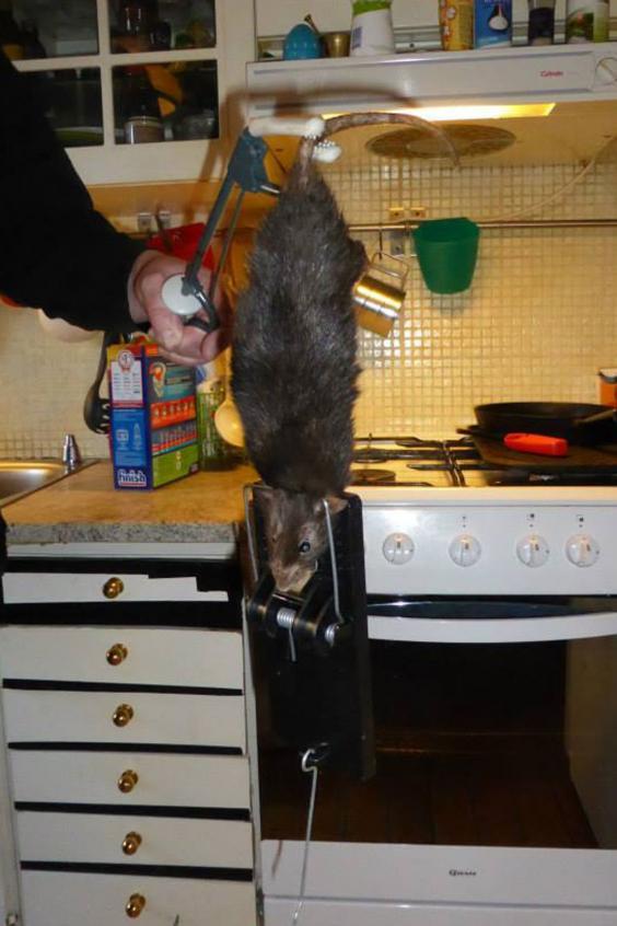 rat-2.jpg