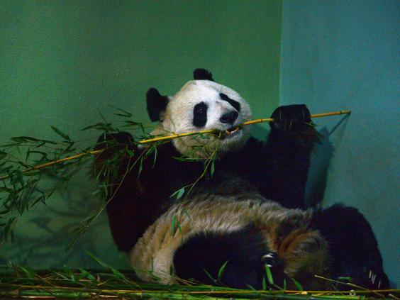 panda-tian-tian_1.jpg
