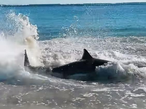 wa-shark-great-white-2.jpg
