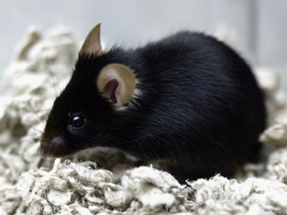 ms-mice.jpg