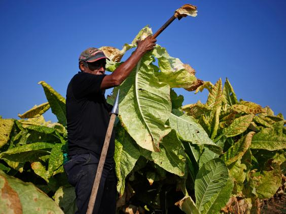 web-tobacco-plant-getty.jpg
