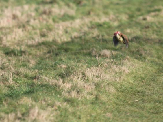 woodpecker-weasel1.JPG