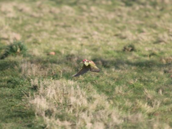 woodpecker-weasel2.JPG