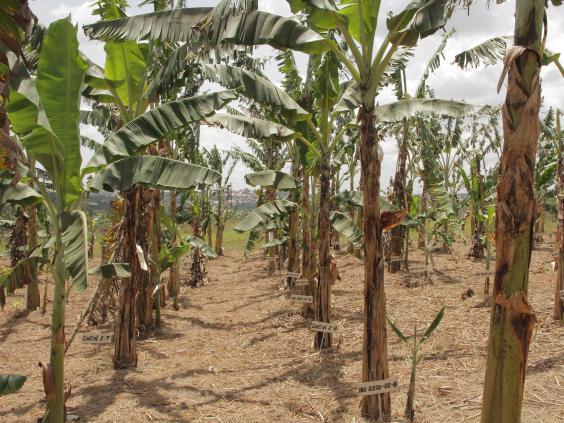 ugandan-gm-banana-plantation.jpg