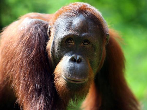 orangutan-getty.jpg