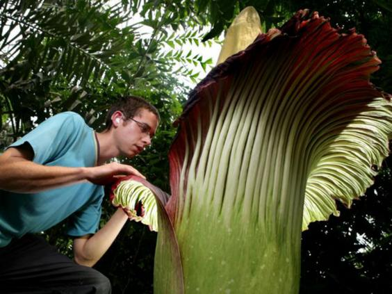 Rare Corpse Flower Blooms For The First Time In 11 Years
