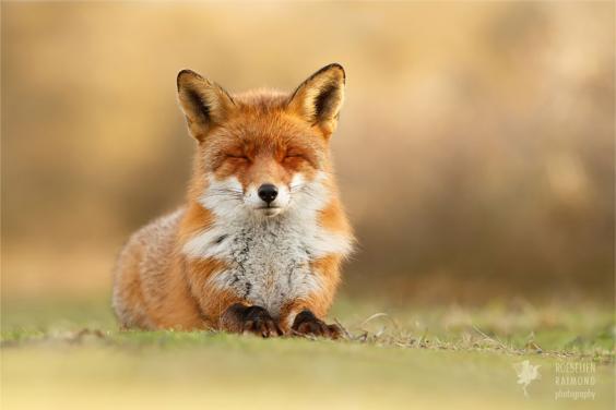 zen-foxes-roeselien-raimond-13__880.jpg