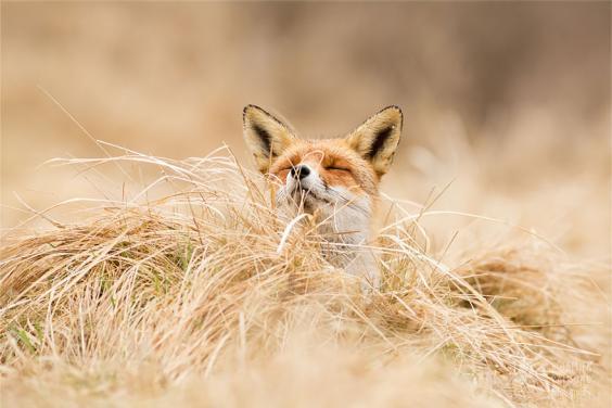 zen-foxes-roeselien-raimond-5__880.jpg