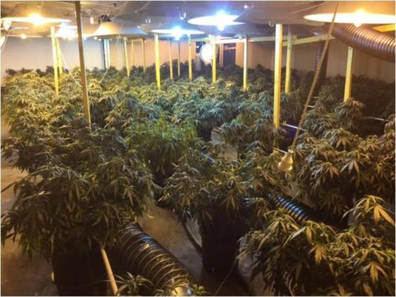 Sydney-cannabis-farm-1.jpg