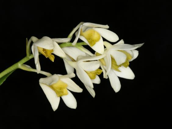 15-orchid-dendrobrium-AndreSchuiteman.jpg