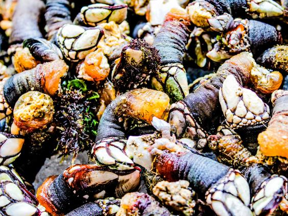 Gooseneck-Barnacles-Getty.jpg