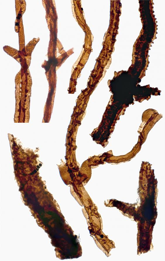 web-fossil-fungus-2-pa.jpg