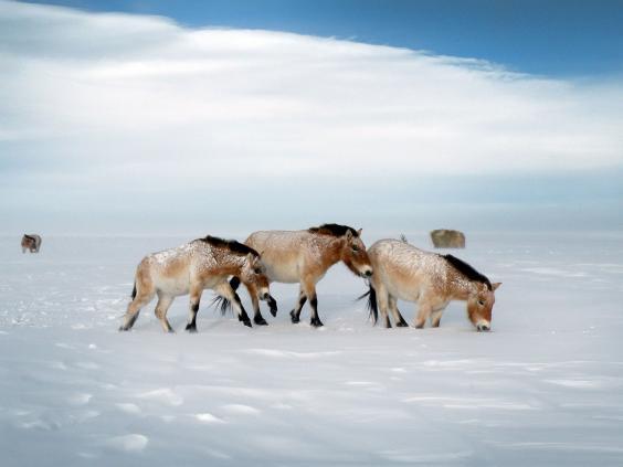24-Przewalski-horses-afp.jpg