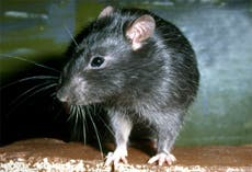 Giant rats could invade homes through toilet, warns pest expert
