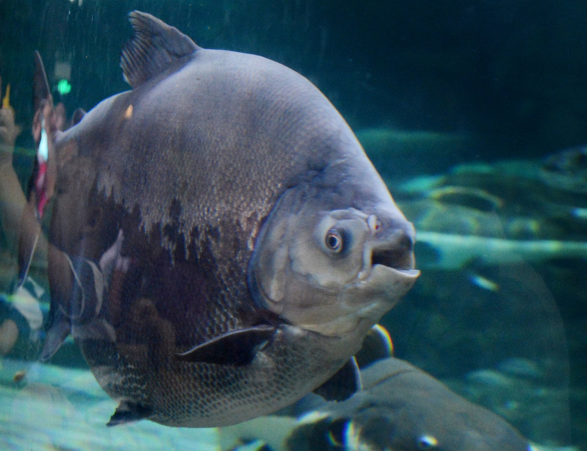 39 testicle eating 39 amazonian fish found in us lake for Fish food golf balls
