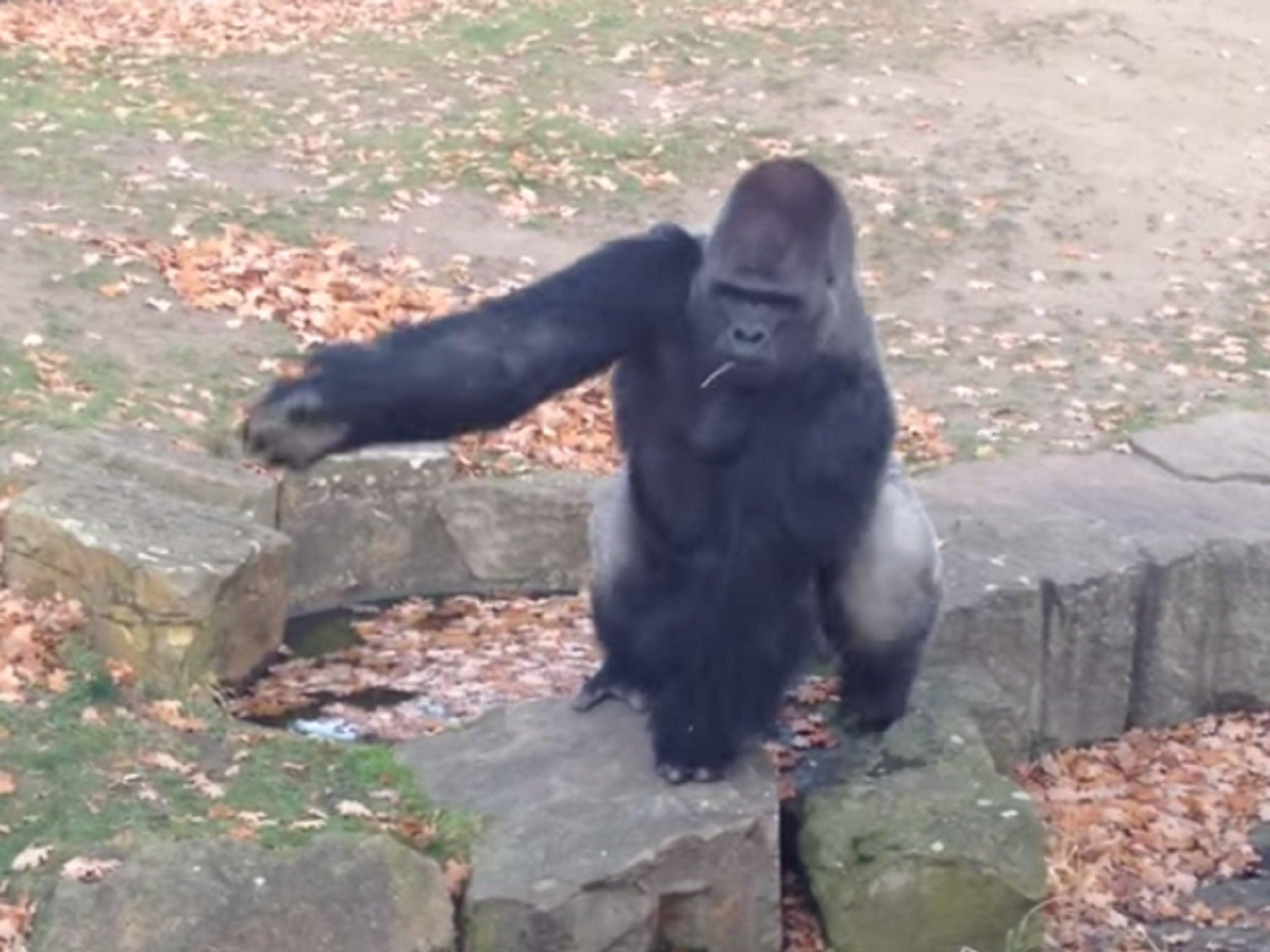 Секс бесплатно с гориллами 27 фотография
