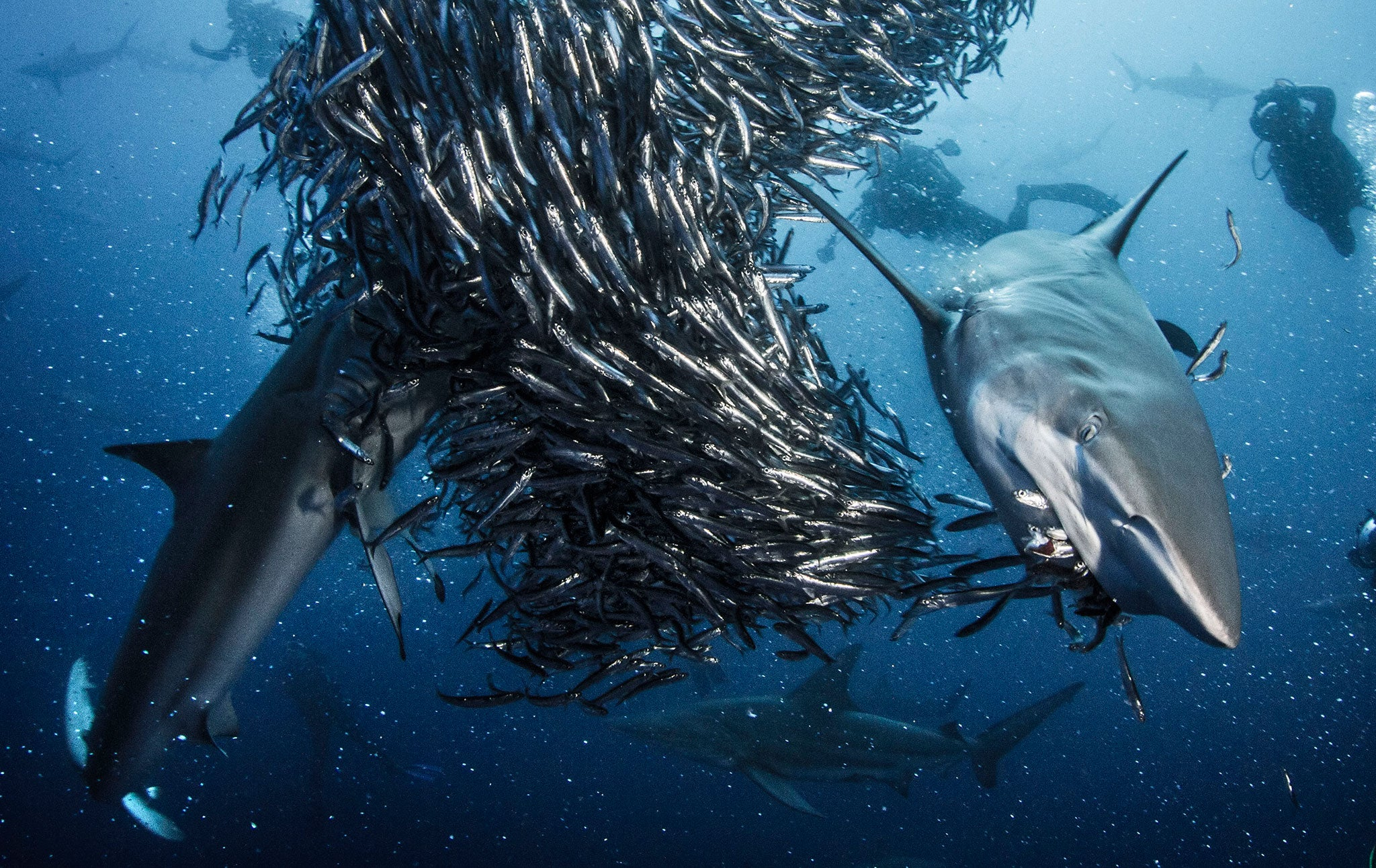 Images Of Sharks Great white sha...