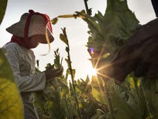 Imperial Tobacco and British American Tobacco linked to child labour in Indonesia