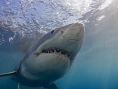 Will the climate emergency really drive great white sharks towards British waters?