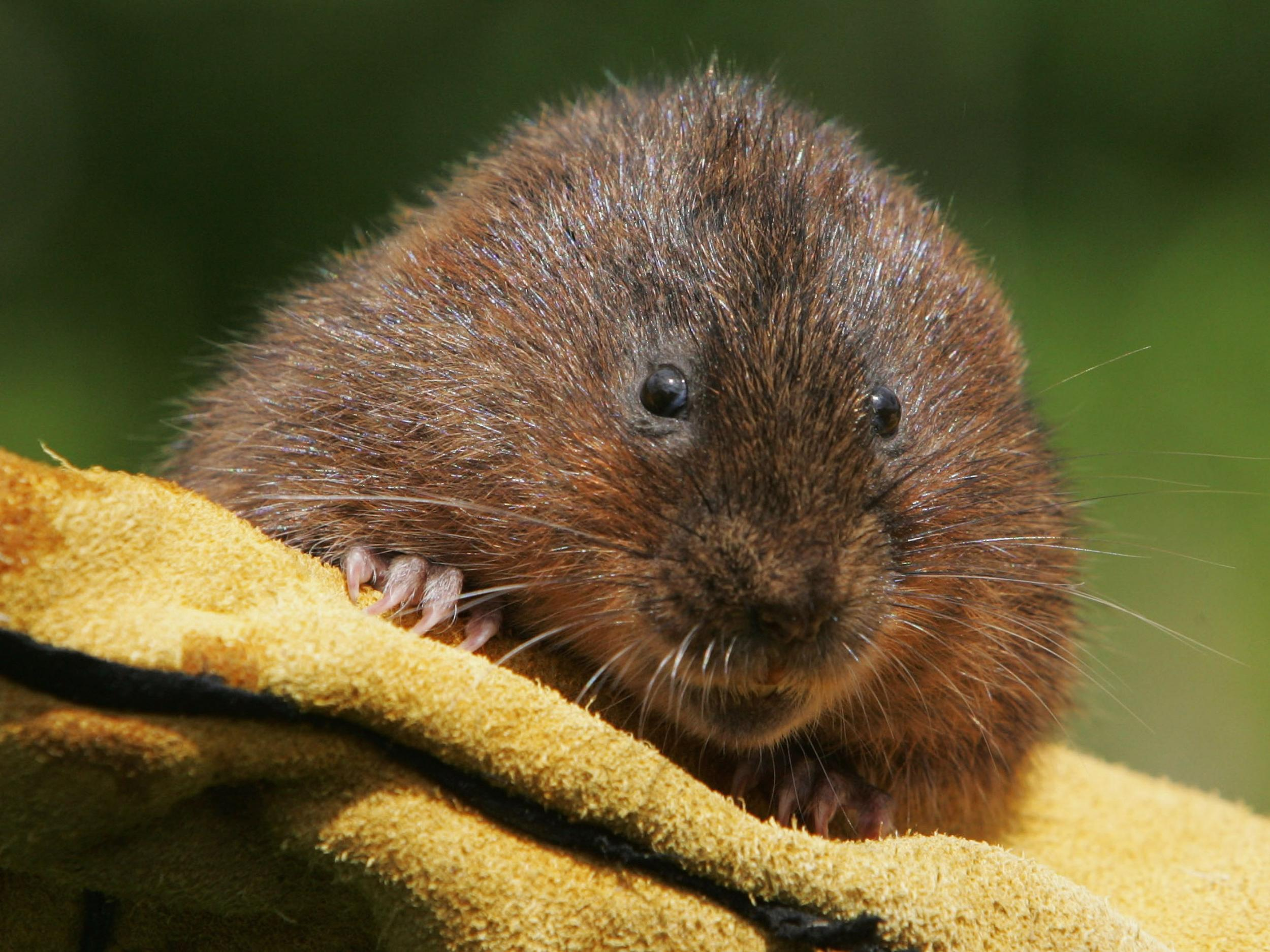 water voles The water vole is a small species of semi-aquatic rodent that is found along the riverbanks throughout the uk and europe they are similar in appearance to mice and rats but have a number of.