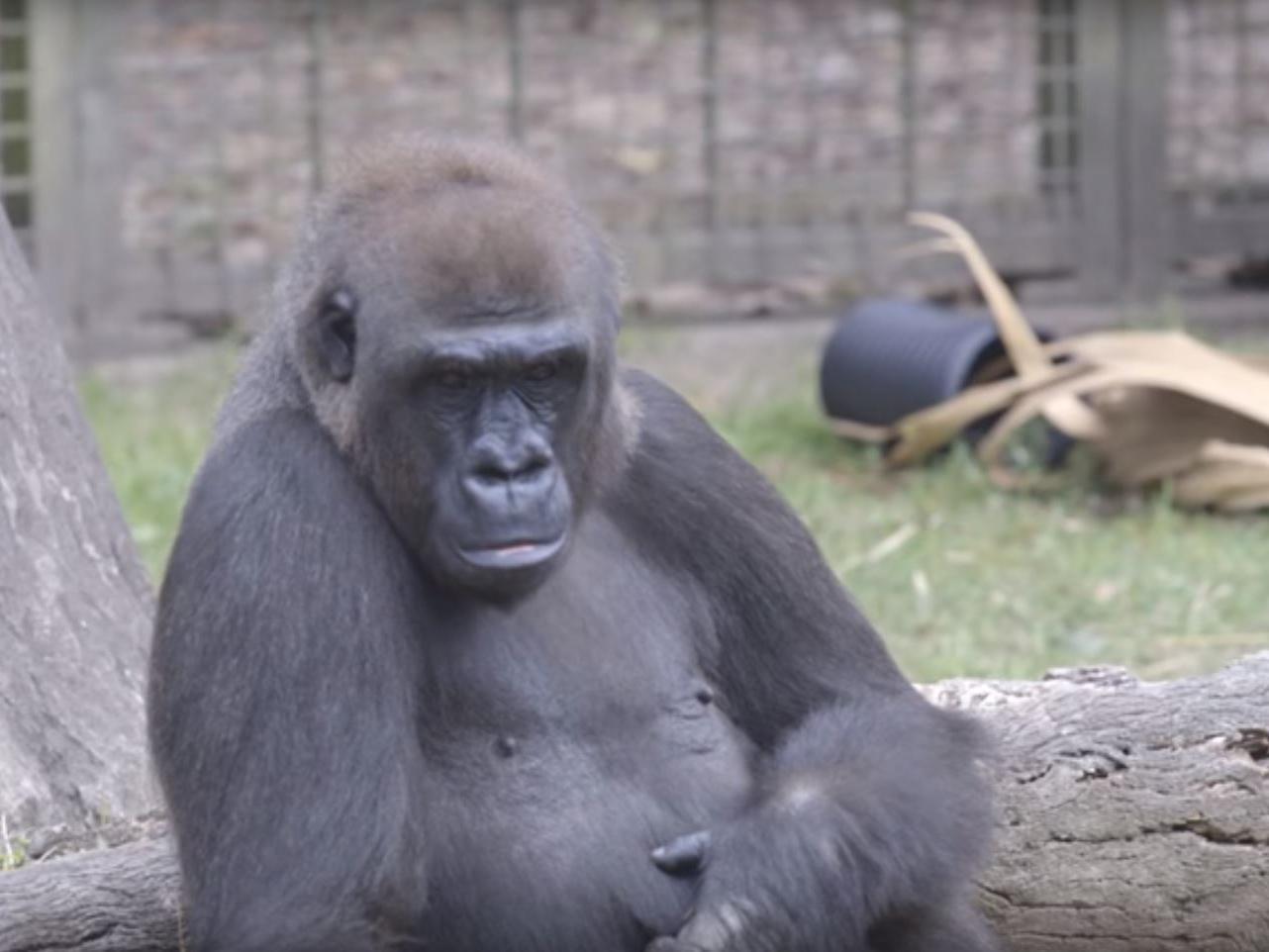 Gorilla sex with woman softcore scenes