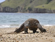 Climate change threatens Komodo dragons, the world's largest lizard, with extinction