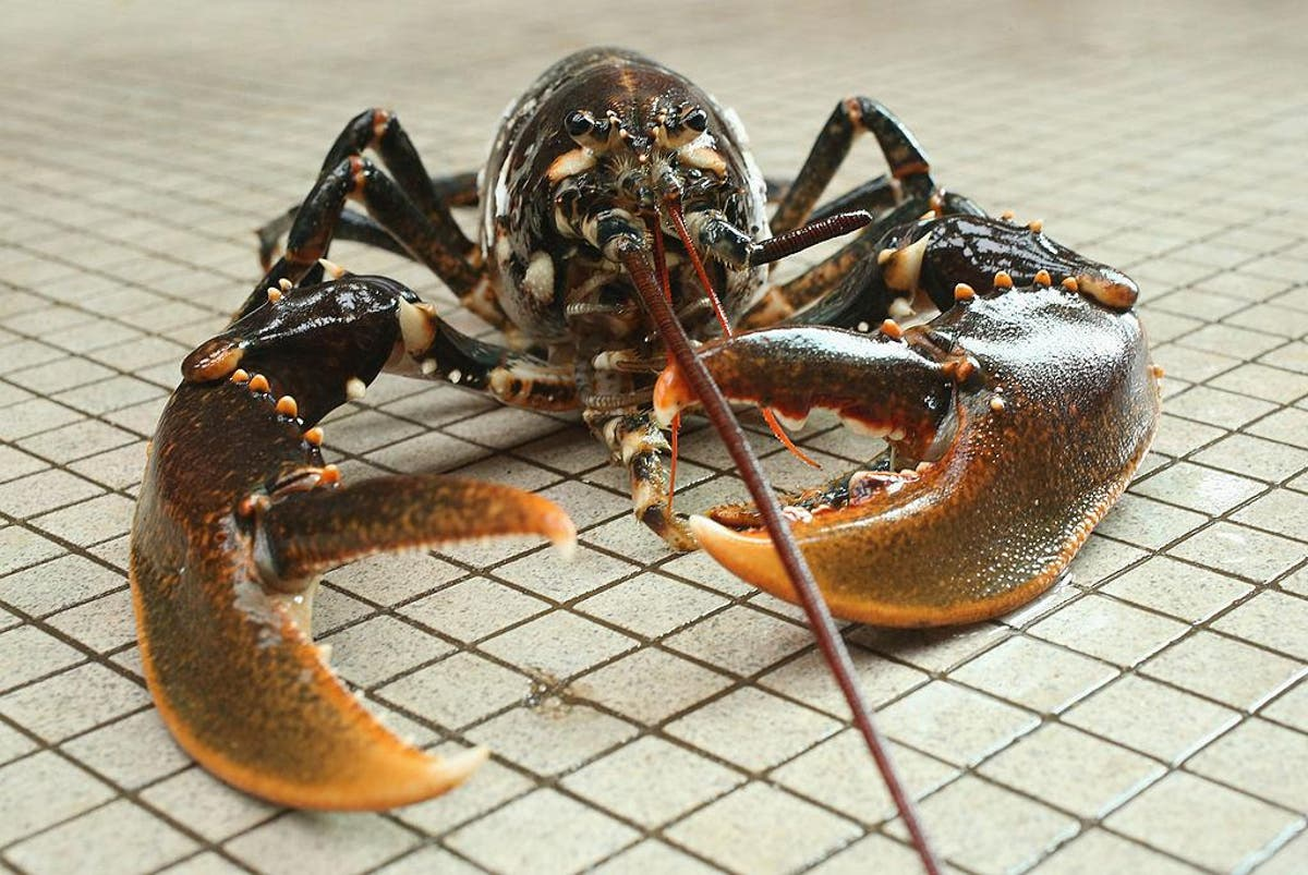 Ministers to ban boiling lobsters alive