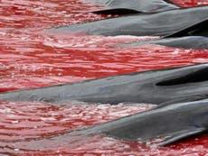 フェロー諸島のクジラ狩り: グリグリ写真はイルカとゴンドウクジラの大量殺戮を示しています