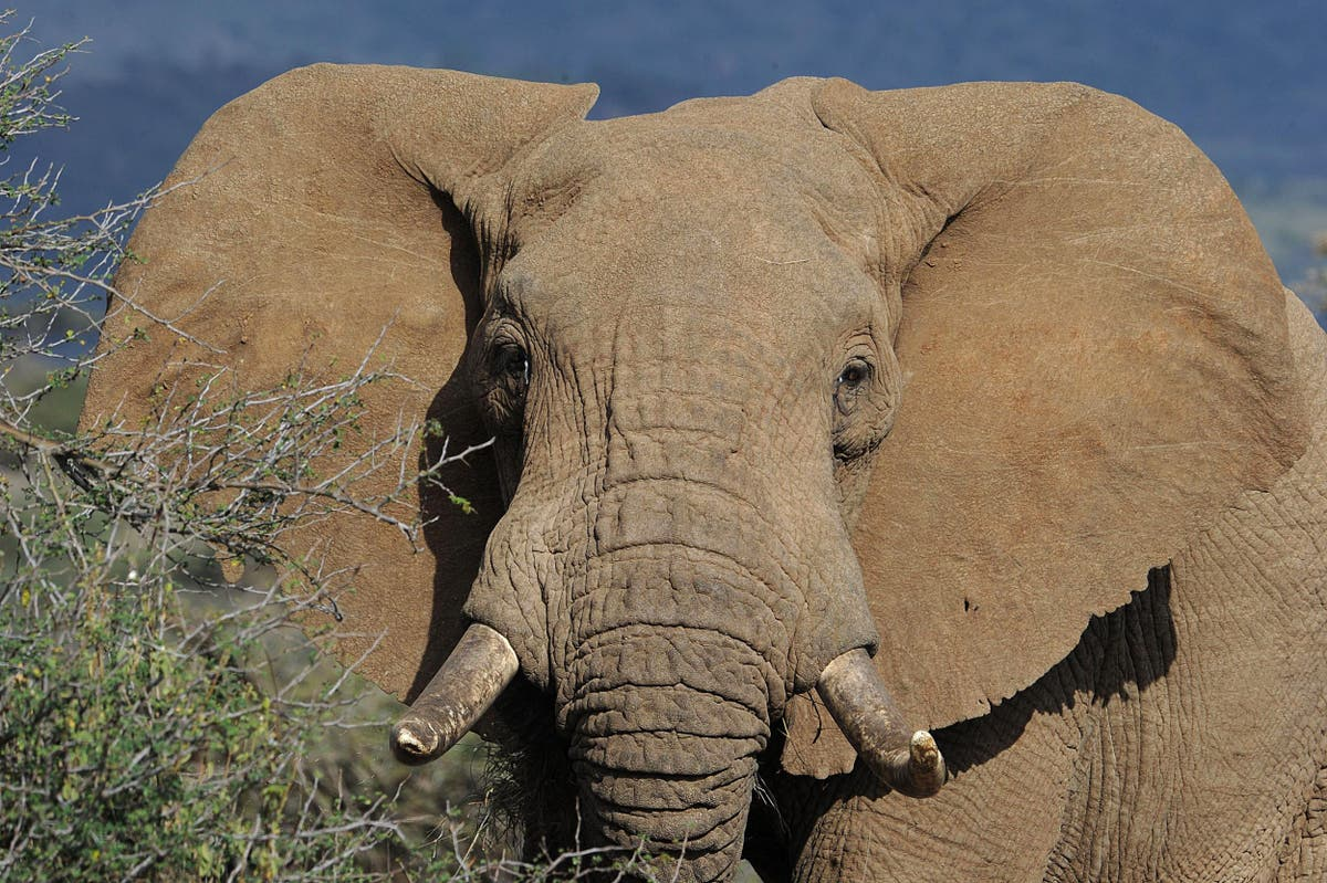 How many more elephants have to be killed before the government enforces the Ivory Act? | Luke Pollard