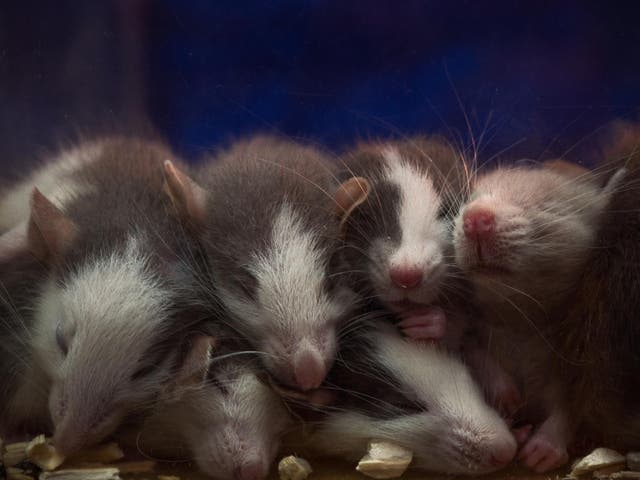 A study from the University of Tokyo has found that the tears of baby mice cause female mice to be less interested in the sexual advances of males
