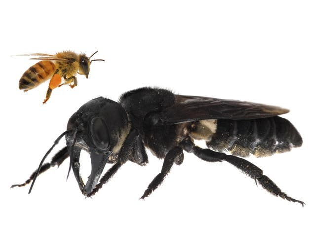 Feared extinct, the Wallace's Giant bee has been spotted for the first time in nearly 40 年. An international team of conservationists spotted the bee, that is four times the size of a typical honeybee, on an expedition to a group of Indonesian Islands