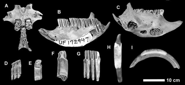 Fossilised bones digested by crocodiles have revealed the existence of three new mammal species that roamed the Cayman Islands 300 数年前. The bones belonged to two large rodent species and a small shrew-like animal