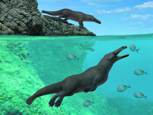 Scientists have identified a four-legged creature with webbed feet to be an ancestor of the whale. Fossils unearthed in Peru have led scientists to conclude that the enormous creatures that traverse the planet's oceans today are descended from small hoofed ancestors that lived in south Asia 50 百万年前