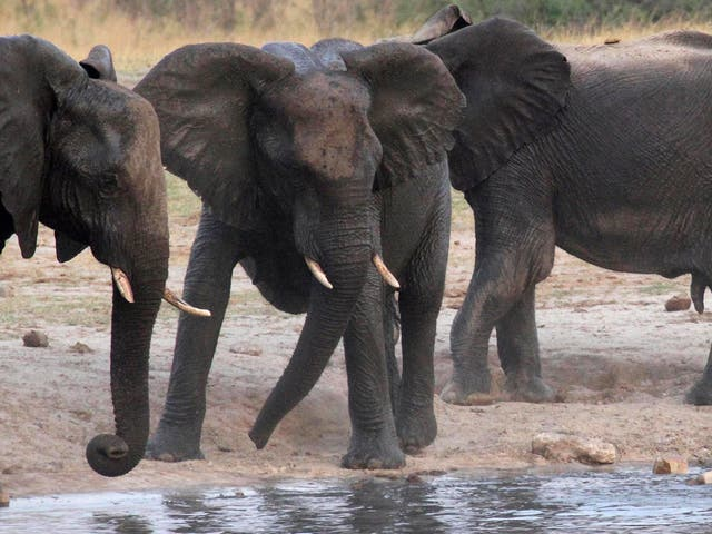 African elephant poaching rates have dropped by 60 per cent in six years, an international study has found.  It is thought the decline could be associated with the ivory trade ban introduced in China in 2017.
