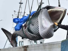 Whale meat fetches 'celebration prices' in Japan after first commercial hunt in 31 années