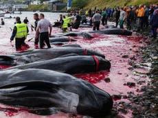 ほとんど 100 クジラは、フェロー諸島で陸上に引きずり込まれ、屠殺される前に、浅い湾に追いやられました。