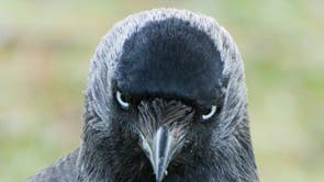 """Jackdaws can identify """"dangerous"""" humans from listening to each other's warning calls, 科学者は言う.   The highly social birds will also remember that person if they come near their nests again, according to researchers from the University of Exeter.   この研究で, a person unknown to the wild jackdaws approached their nest. At the same time scientists played a recording of a warning call (脅迫) or """"contact calls"""" (non-threatening). The next time jackdaws saw this same person, the birds that had previously heard the warning call were defensive and returned to their nests more than twice as quickly on average."""