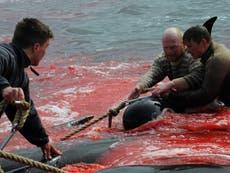 海は血を赤くする 250 フェロー諸島の「野蛮な」狩猟で屠殺されたクジラ