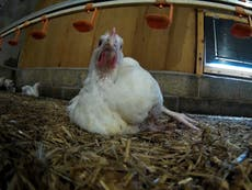 Chickens at farms supplying Tesco and Ocado made to die of thirst or had necks crushed