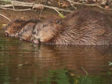 Wild beavers to return to English rivers after 400 years with legal protection as native species
