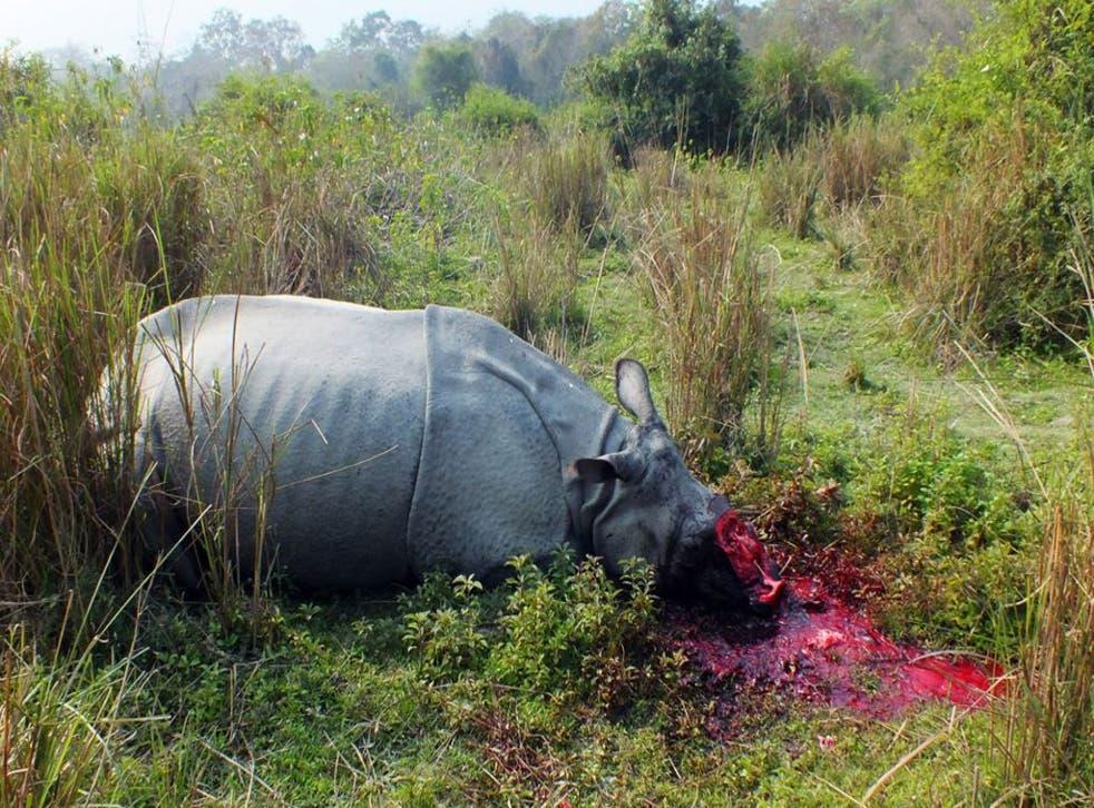 El cuerpo de un rinoceronte sin cuernos yace en el suelo, fue asesinado por cazadores furtivos.