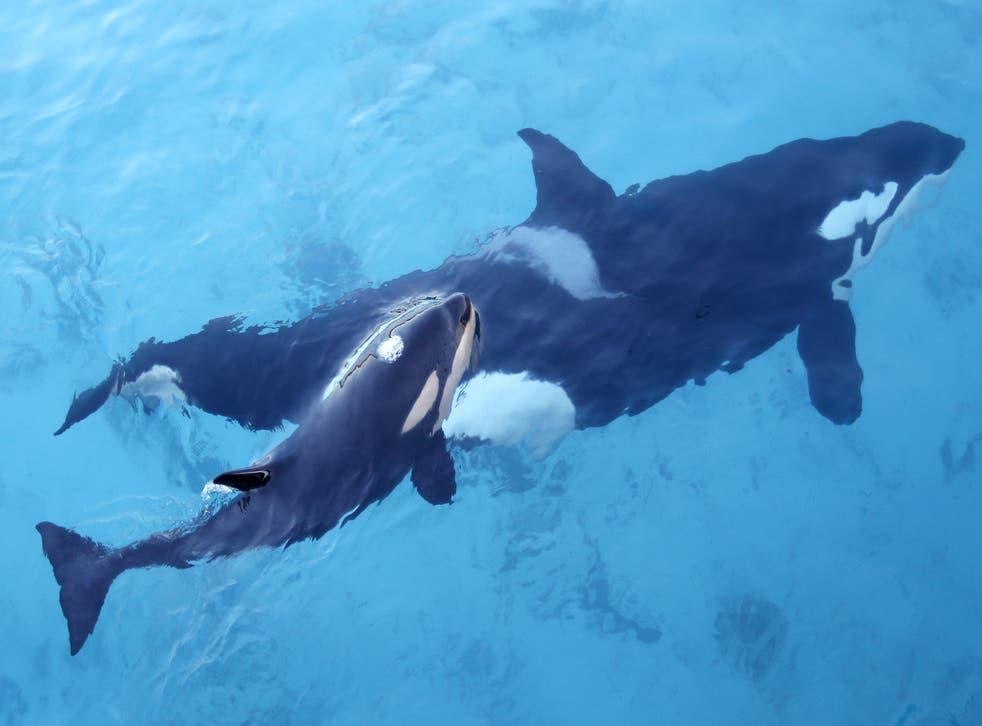 Las ballenas orca se estrellan contra los barcos de vela, dejando algunas a la deriva sin timones ni motores que funcionen.